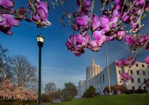 Marion County, Oregon State Capitol and magnolia blossoms