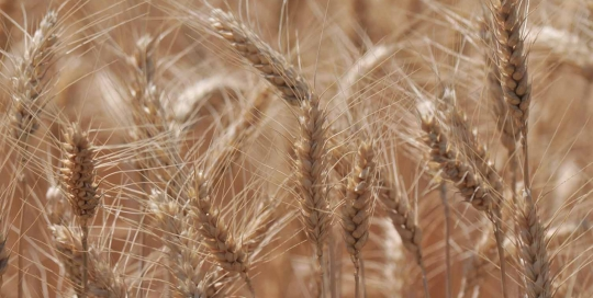 Morrow County, Wheat