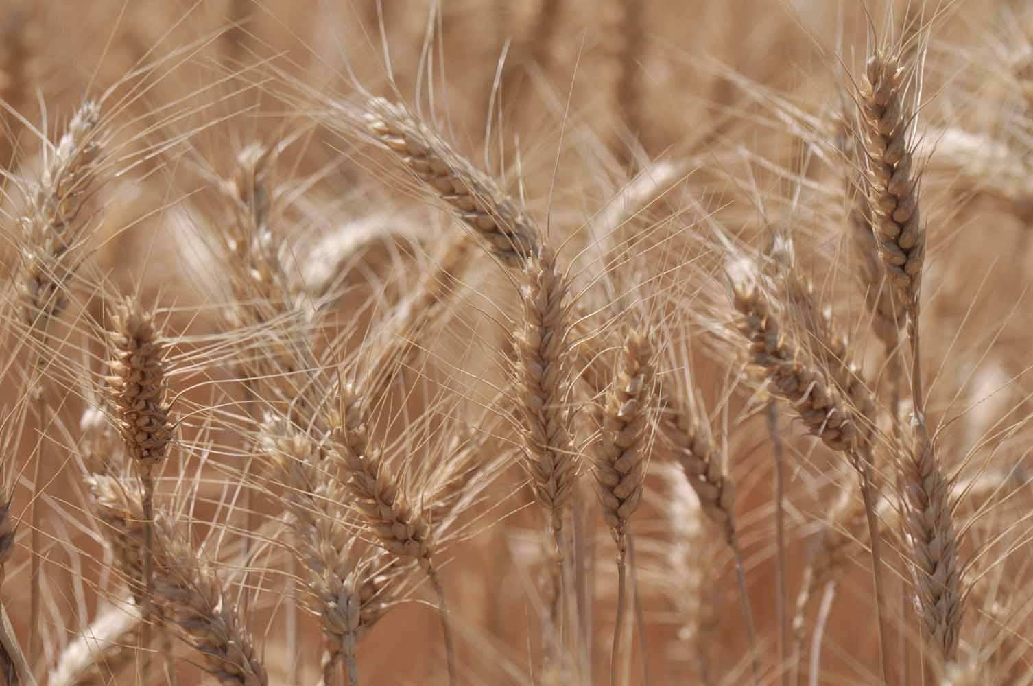 Morrow County, Wheat