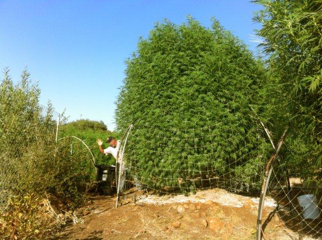 Picture of Southern Oregon Marijauna Plant