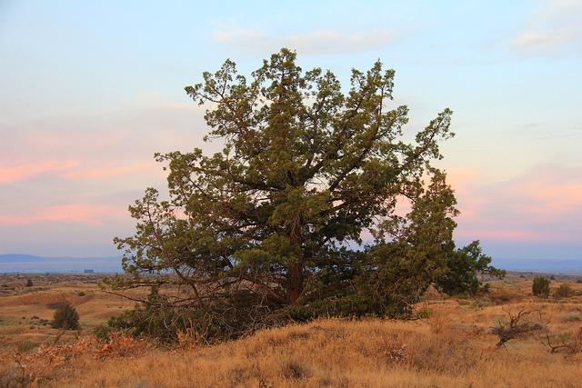 Big Juniper tree_ Image Credit Bureau of Land Management via Flickr