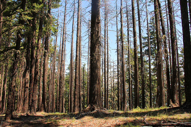 Trees, Curry County - by BLM via Flickr (https:/www.flickr.com/photos/blmoregon/11407940005)