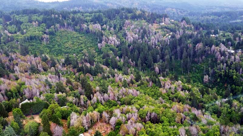 view of Oak trees affected by Sudden Oak Death from a helicopter